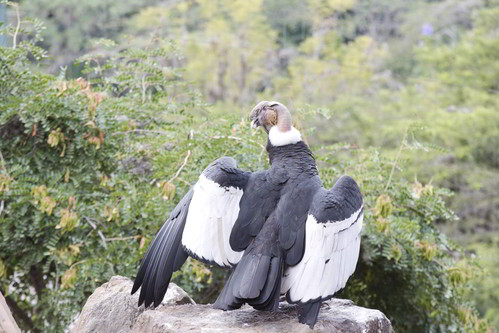 El cóndor vuela bajo en Ecuador