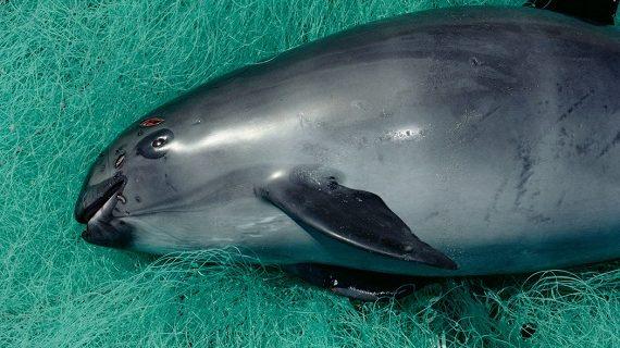 'Una extinción directamente causada por los humanos': la vaquita marina está por desaparecer