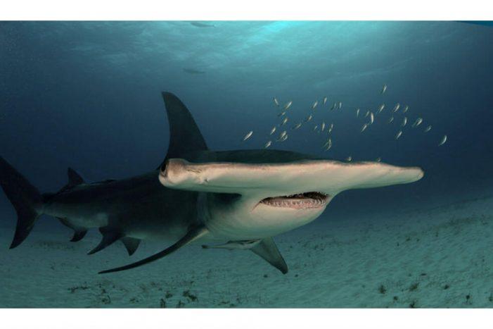 Nuevo refugio de tiburones martillo en aguas de Islas Galápagos